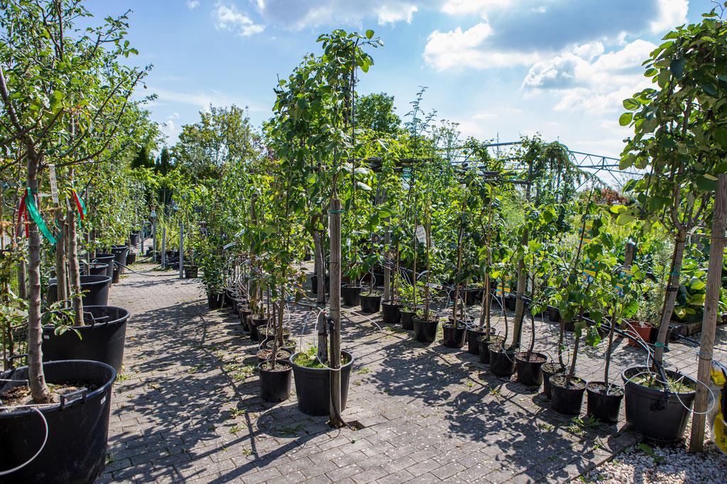 Hausbäume, Obstbäume, Obstbaum, Obstgehölze kaufen Würzburg
