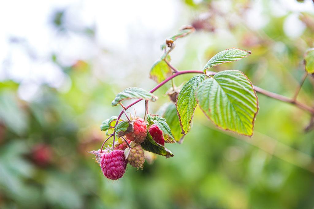 Baumschule Würzburg Beeren, Beerensträucher kaufen, bestellen, liefern lassen