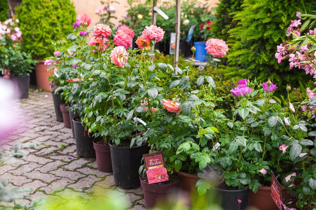 Rosenspalier, Rosenstock, Rose Bodendecker