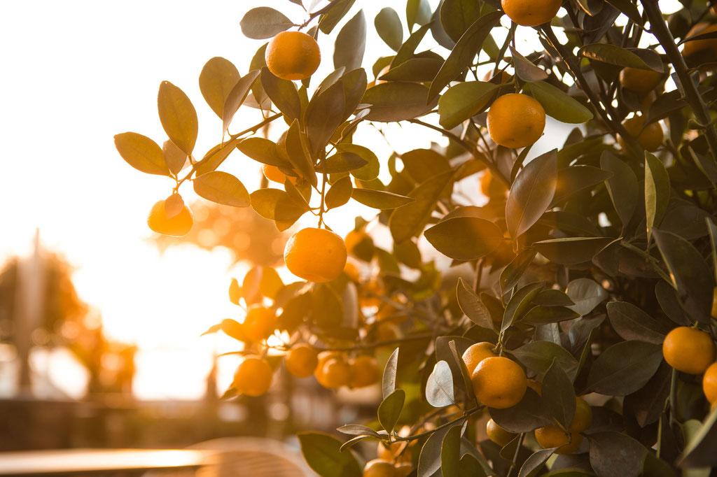 Orangenbaum, Zitronenbaum, Zitrusfrüchte kaufen Würzburg