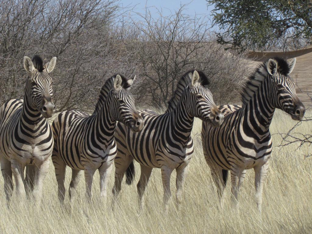 beim Zebrafang