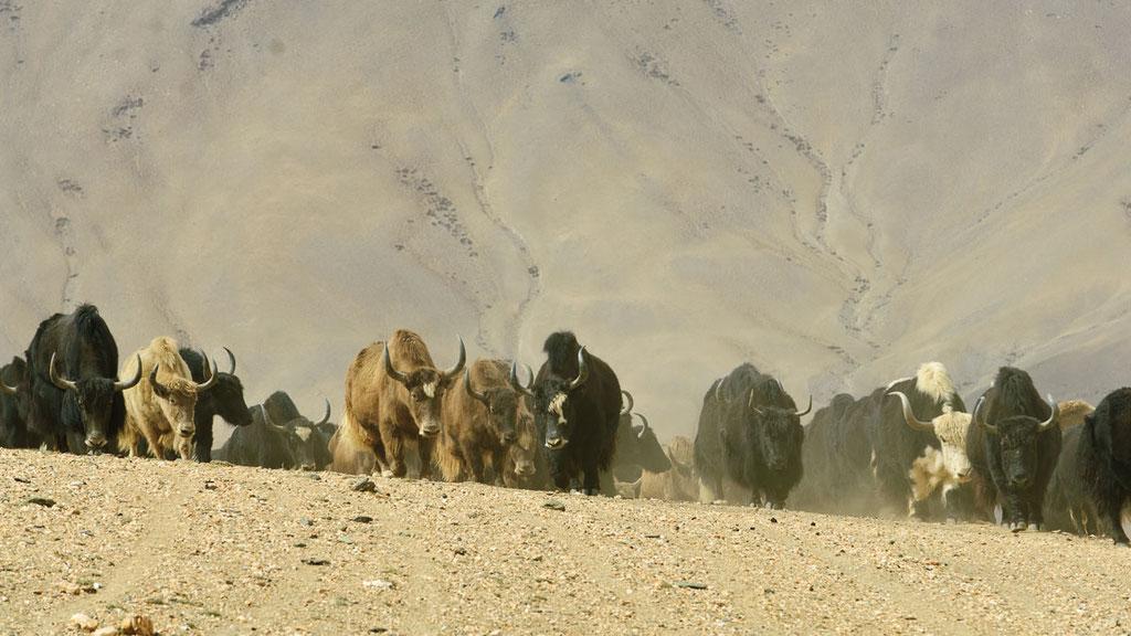 Grosse Yakherde in Ladakh