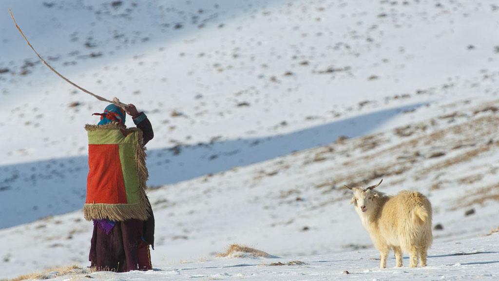 Ladakhische Nomaden treiben ihre Herden mit der Steinschleuder