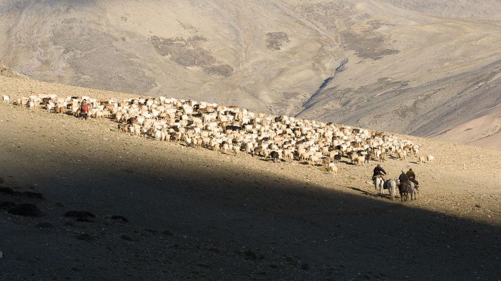 Nomaden treiben ihre Schaf- und Ziegenherden auf die Weide