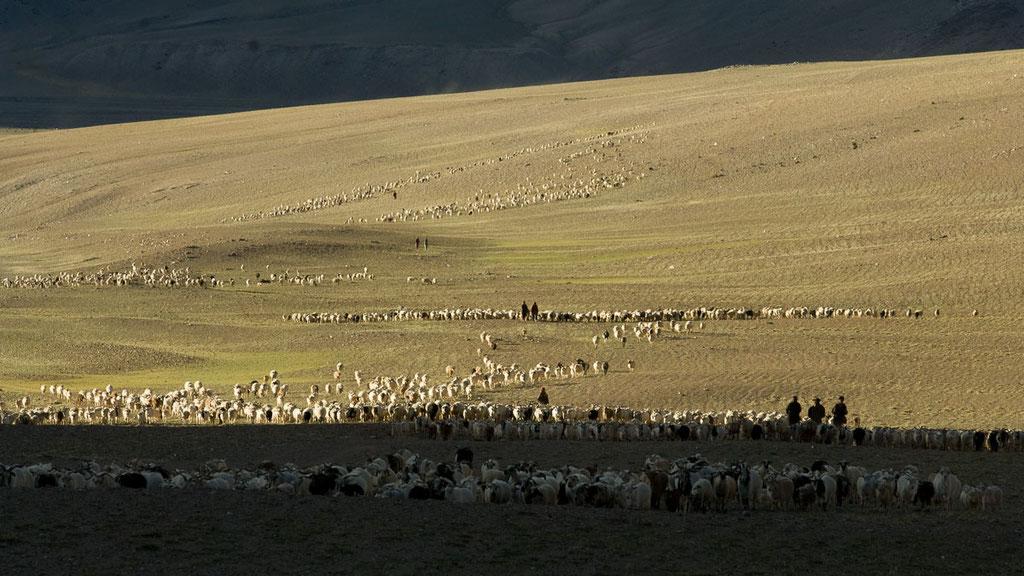 Die Herden kommen abends nach Hause ins Nomadenlager, Ladakh