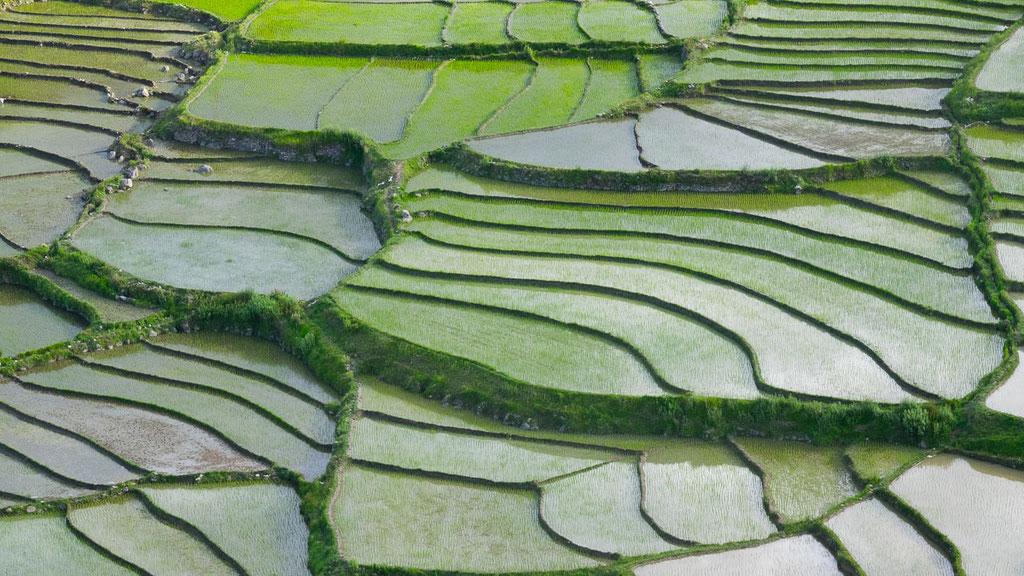 Reisfelder von Bondey in der Nähe von Paro
