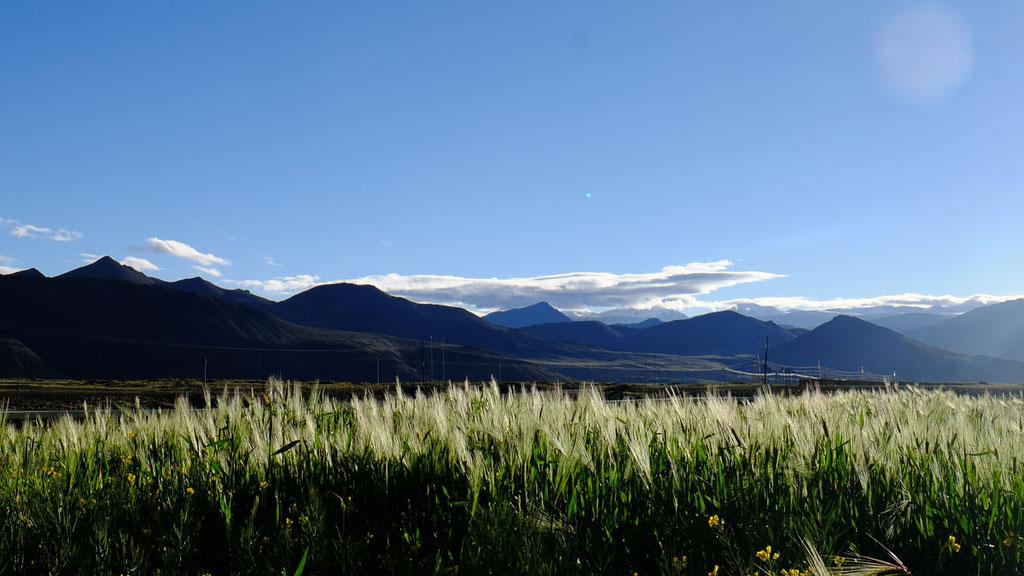 Gerstenfelder auf dem Hochplateau von Tibet