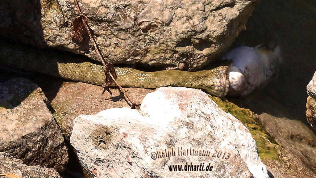 Schlange beim Versuch einen Fisch herunterzuwürgen.