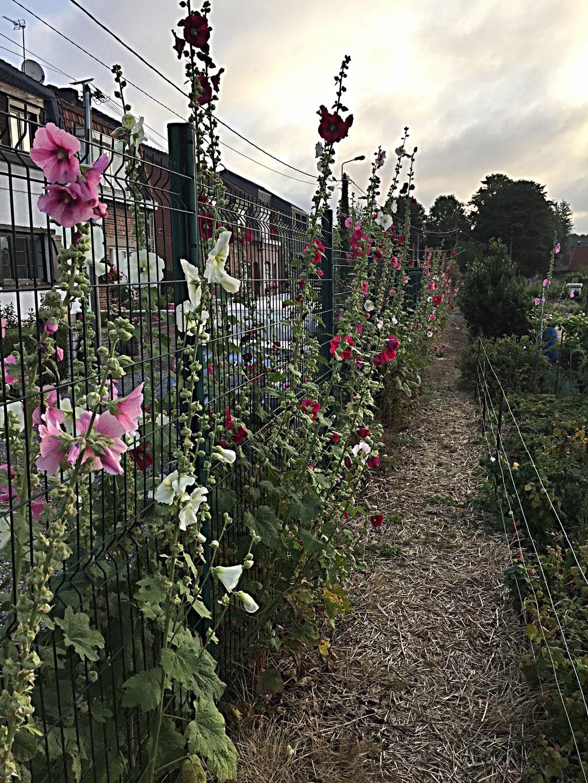Les jardins en plus de leur fonction production des légumes, peuvent aussi participer à l'agrément  du quartier où ils sont implantés, comme ici à la section Coulons.