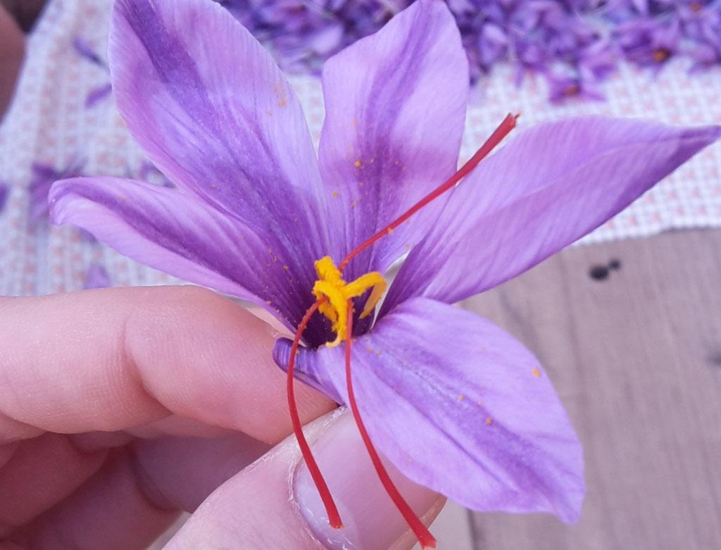 Blüte mit den drei Narben