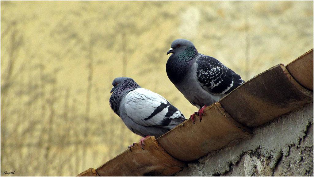 Les Pigeons de Callian