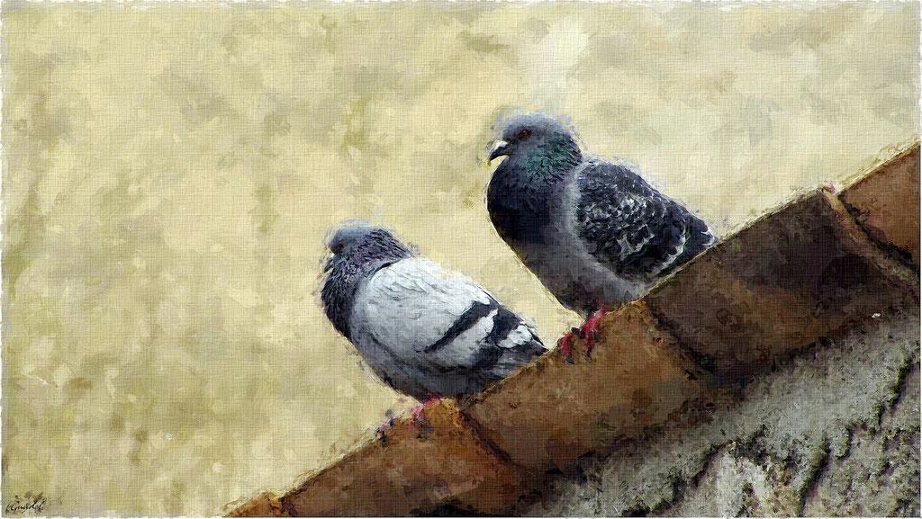Impression Pigeons