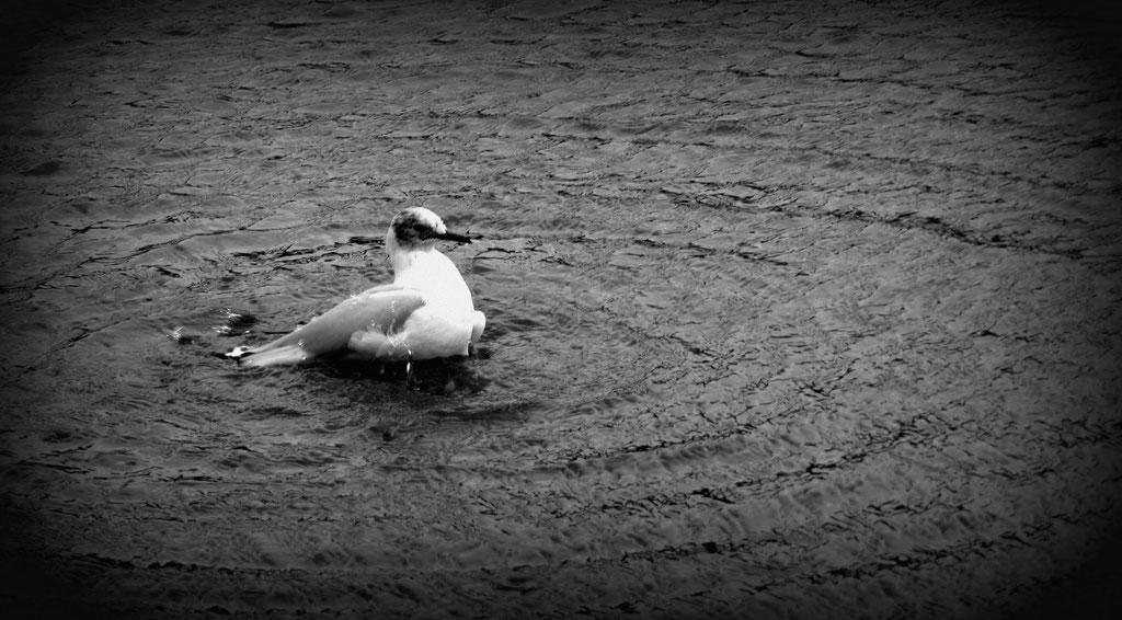 Mouette au Luxembourg