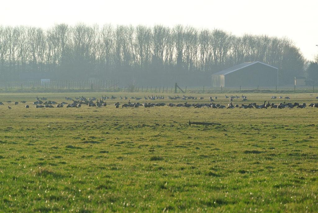 Steeds grote groepen ganzen bijeen.