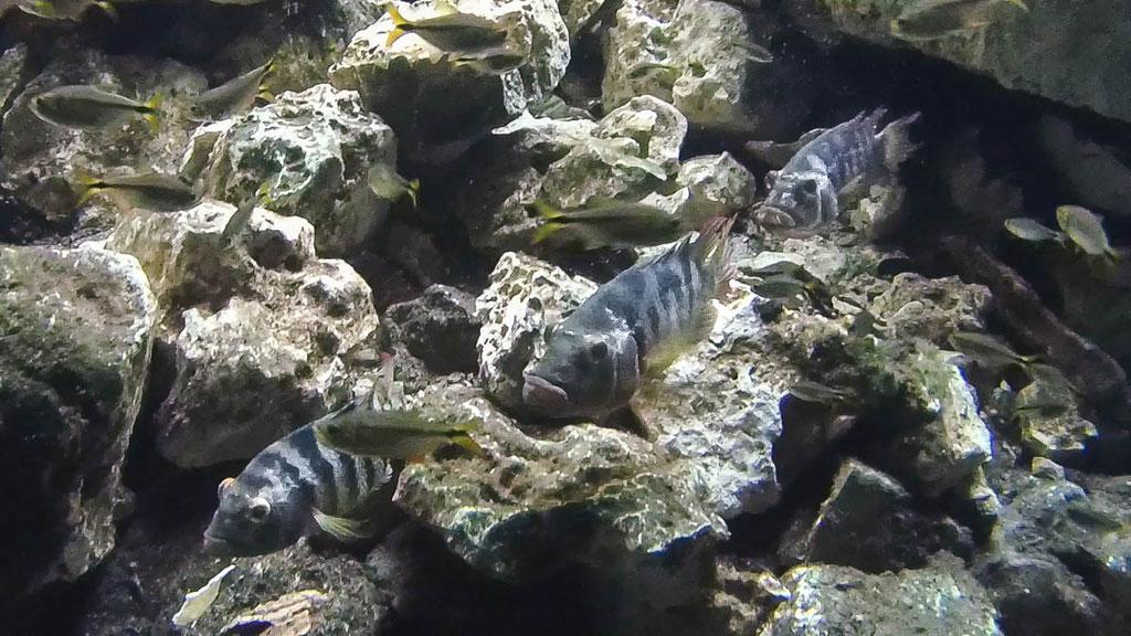 Cenotenfische die nur hier leben