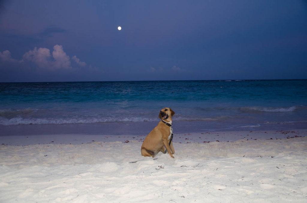 Kampfhund Nora in Fotoposing