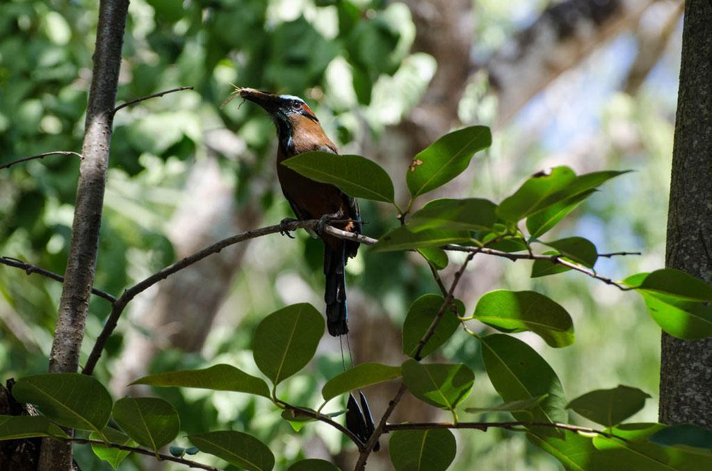 prachtvoller Cenotenvogel