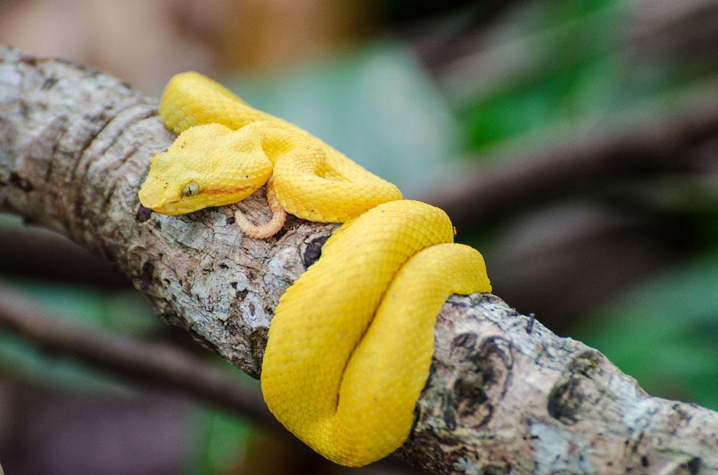 Bocaraca heißt sie, ist sehr giftig und schnell, sie fängt u.a. Kolibris