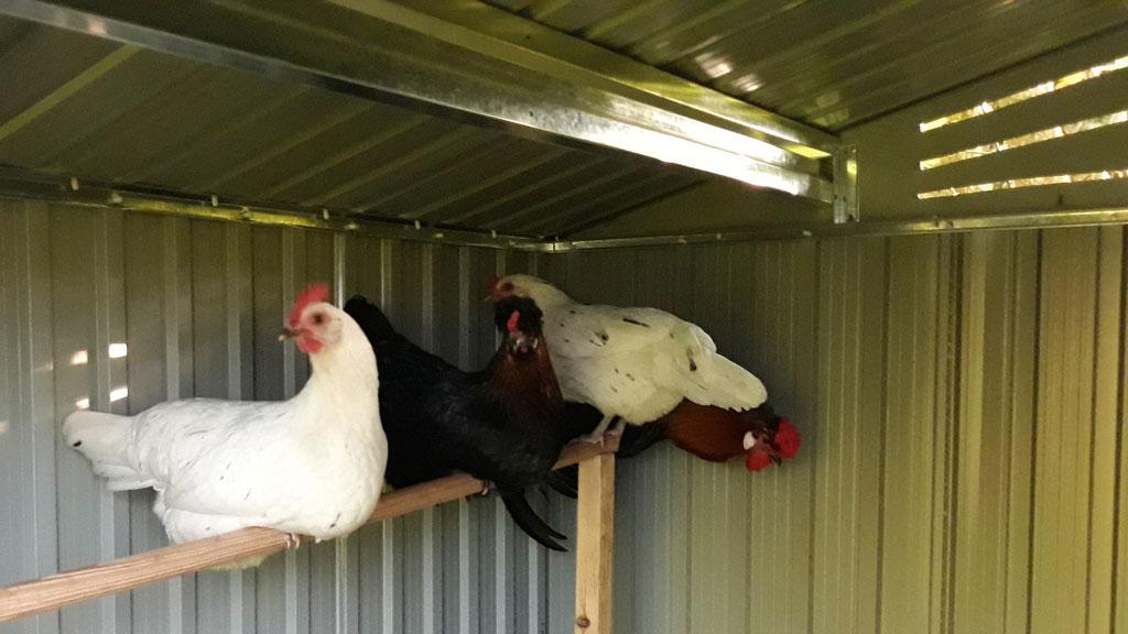 09.05. Die Hühner im neuen Stall