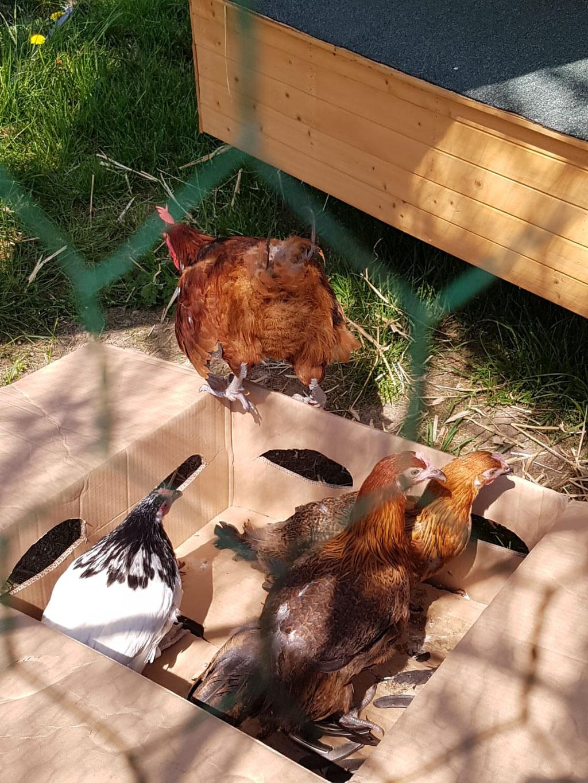 Der Hahn und die beiden braunen Hühner sind eine französische Rasse namens Souconna