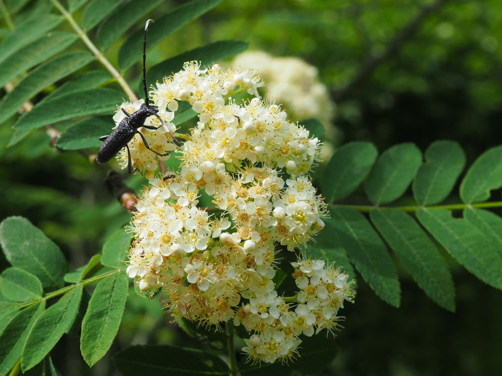 Ebereschen - beliebt bei vielen Insekten und unseren Bienen