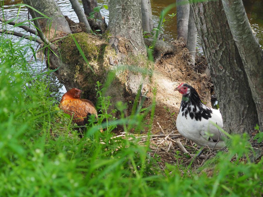 Der Hühnerclan, gerne nah am Wasser