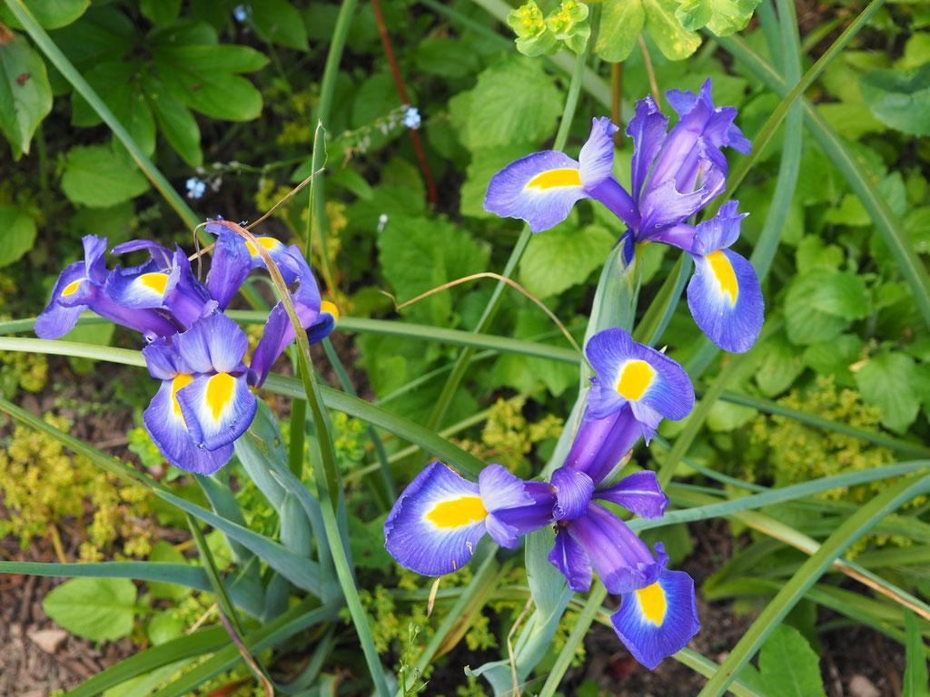 Iris barbata-nana