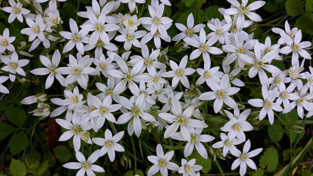 05.05. hier wachsen kleine weiss schimmernde Sternblumen (den Namen kenne ich nicht)