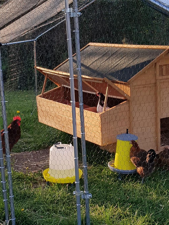 Die Hennen sind recht neugierig ...