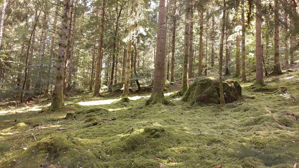Ein neuer Wald, mit Moosteppich....