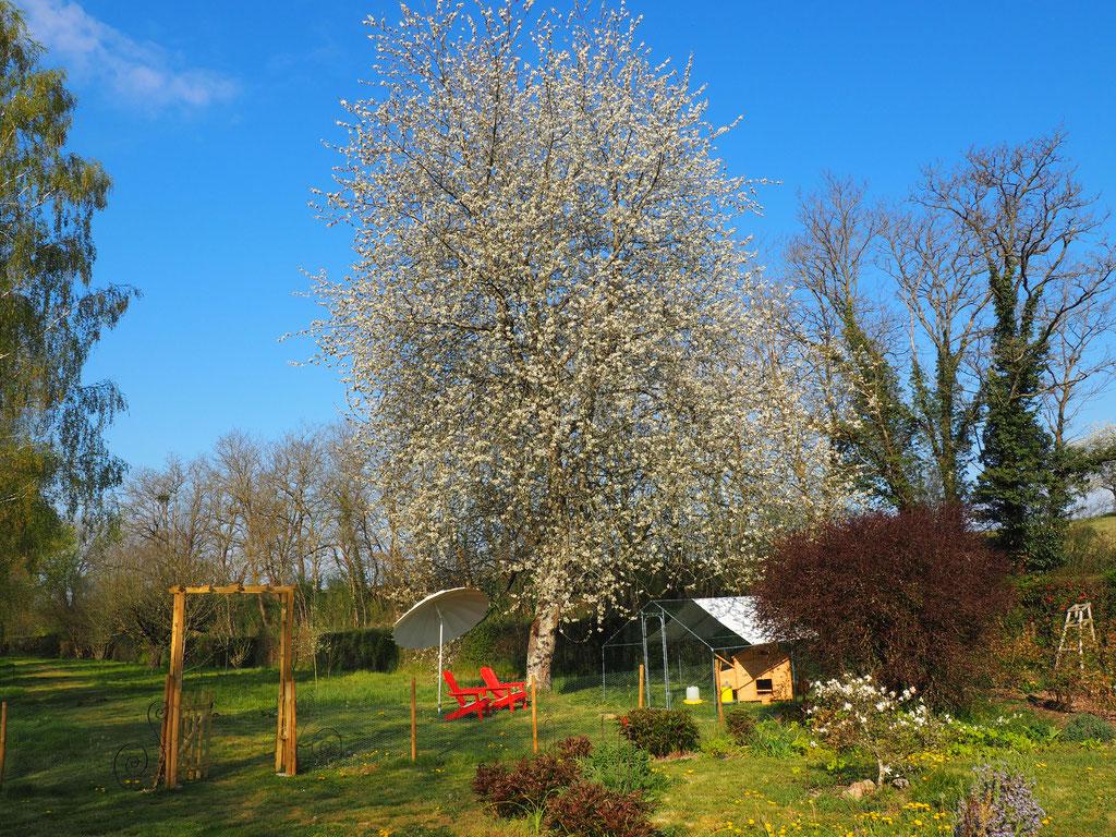 Dieser Kirschbaum ist der Hammer! Ich bin gespannt, ob er süsse Früchte trägt