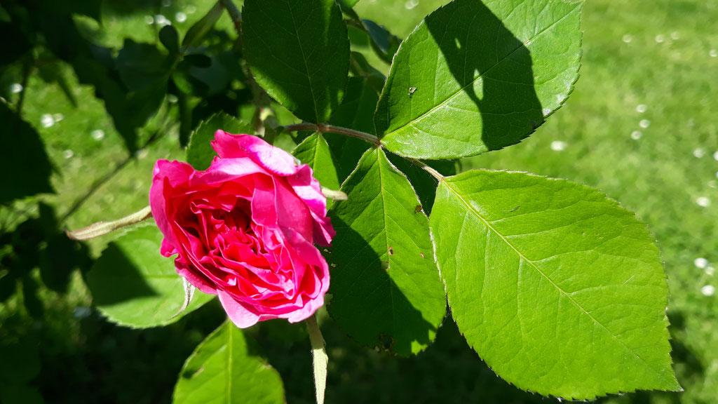 05.05. Die erste sich öffnende Rosenblühte