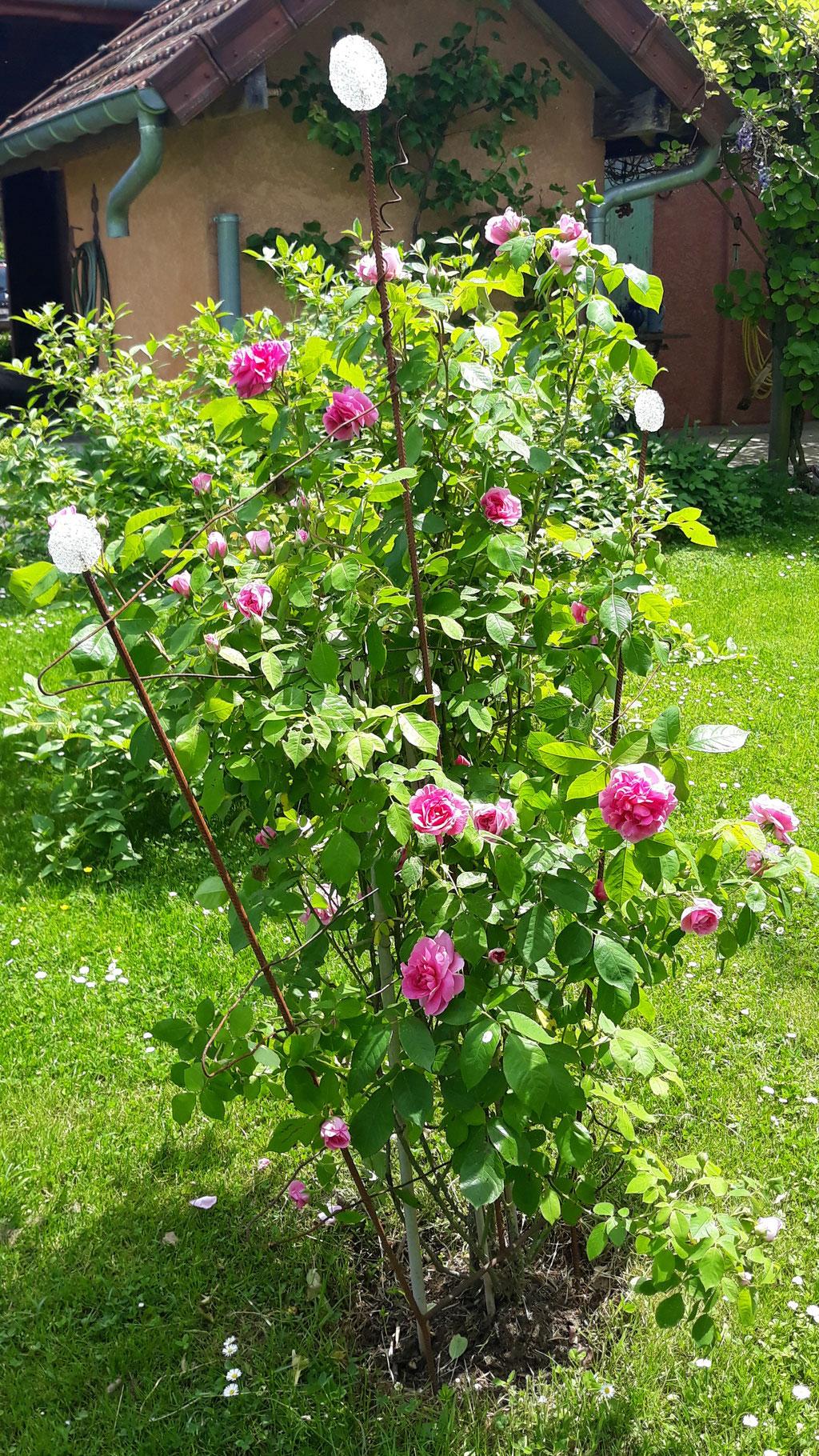 12.05. Der altmodische intensive Rosenduft mäandert durch den ganzen Garten