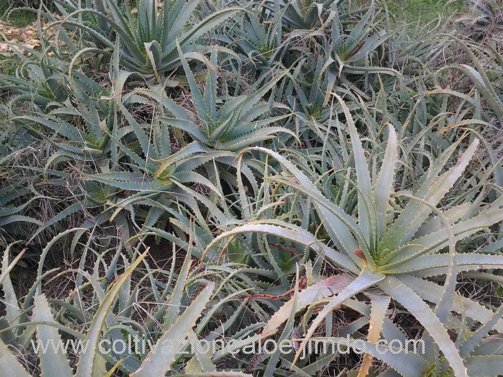 Aloe arborescens adulte