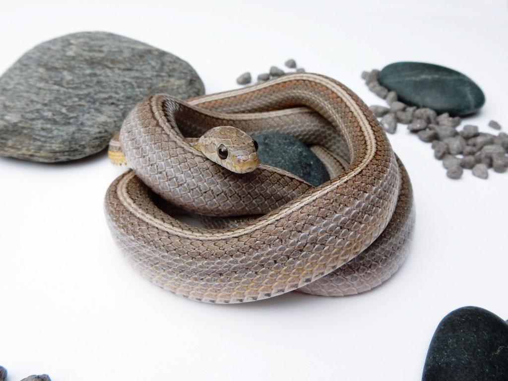 Anerythristic Tessera motley~striped Kornnatter (Smut)