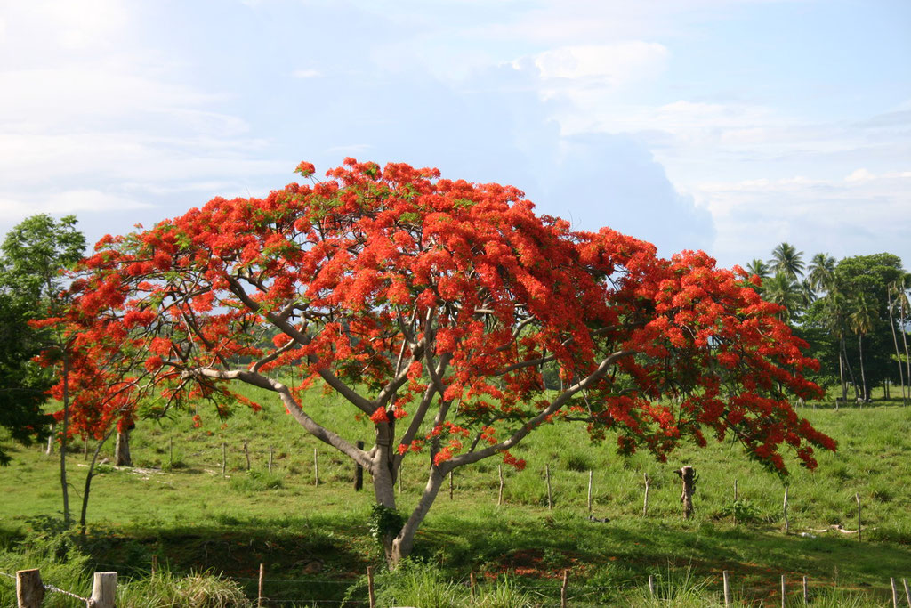 Red Flamboyan in Rincon