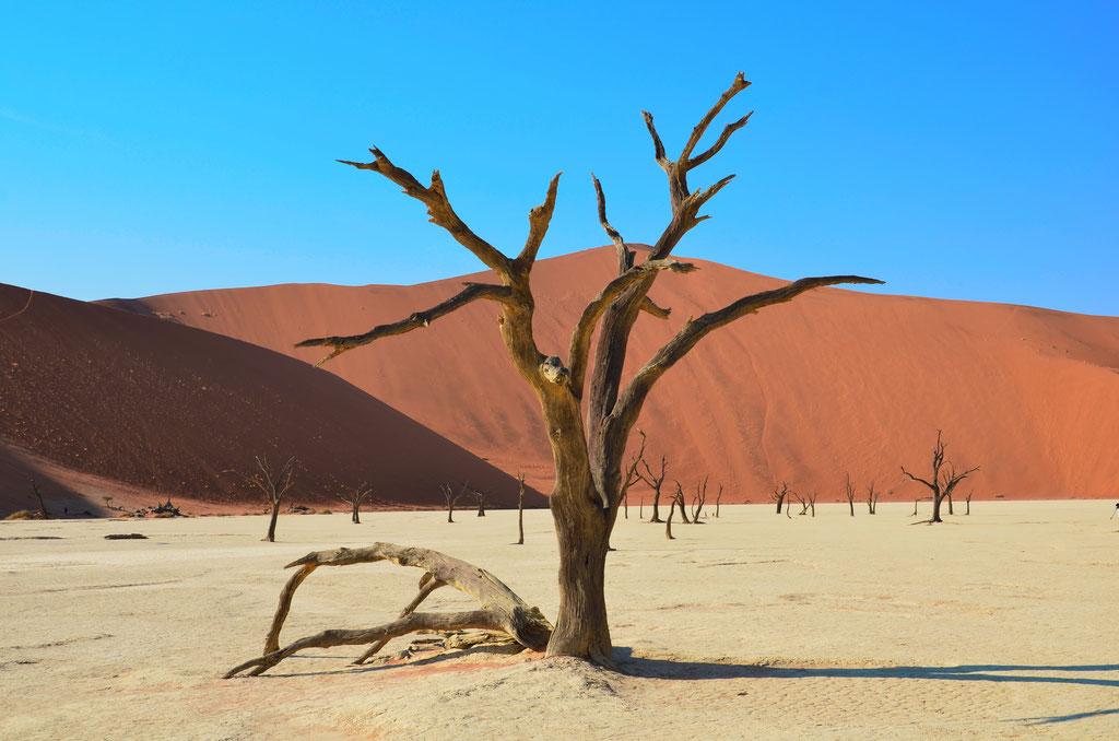 Kameldornbaum in Namibia