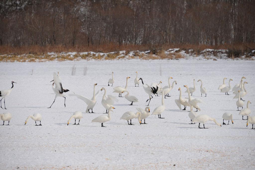 餌泥棒? 白鳥の大群