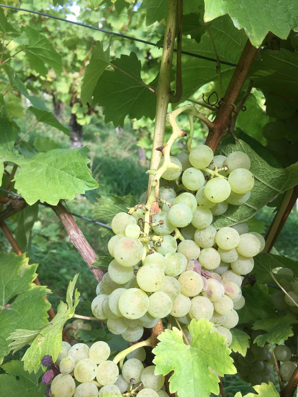 Selektion von Weintrauben