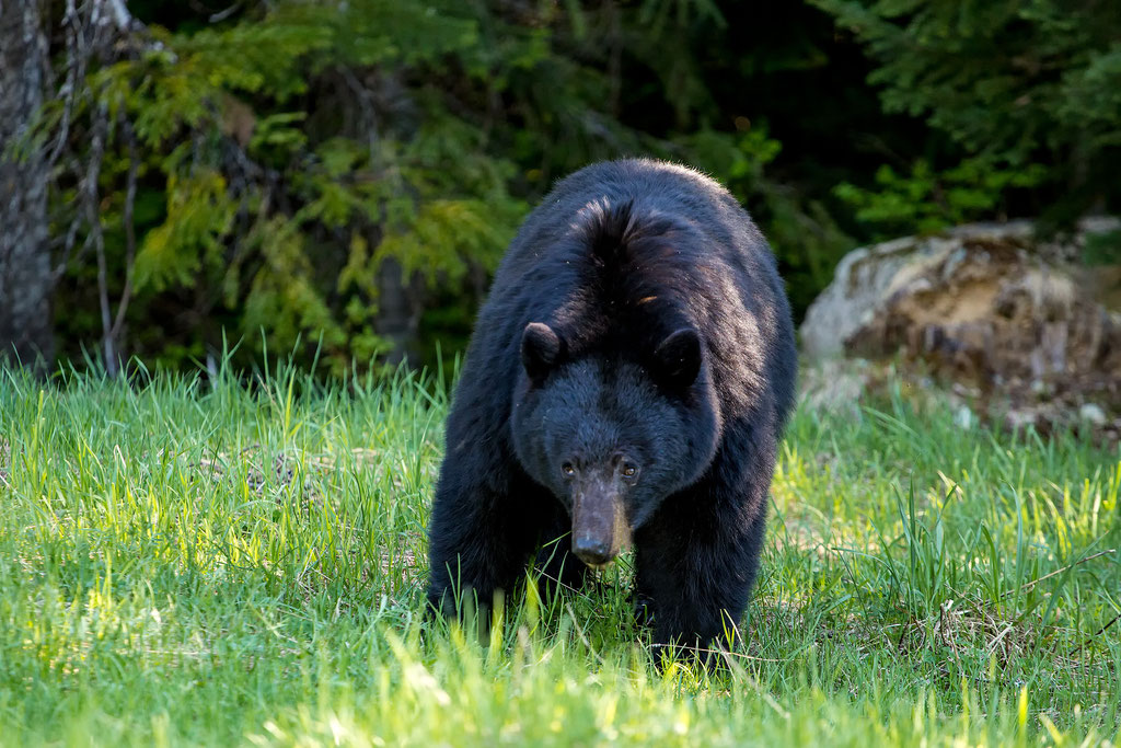 Black bear grazing on grass near Whistler in Canada.