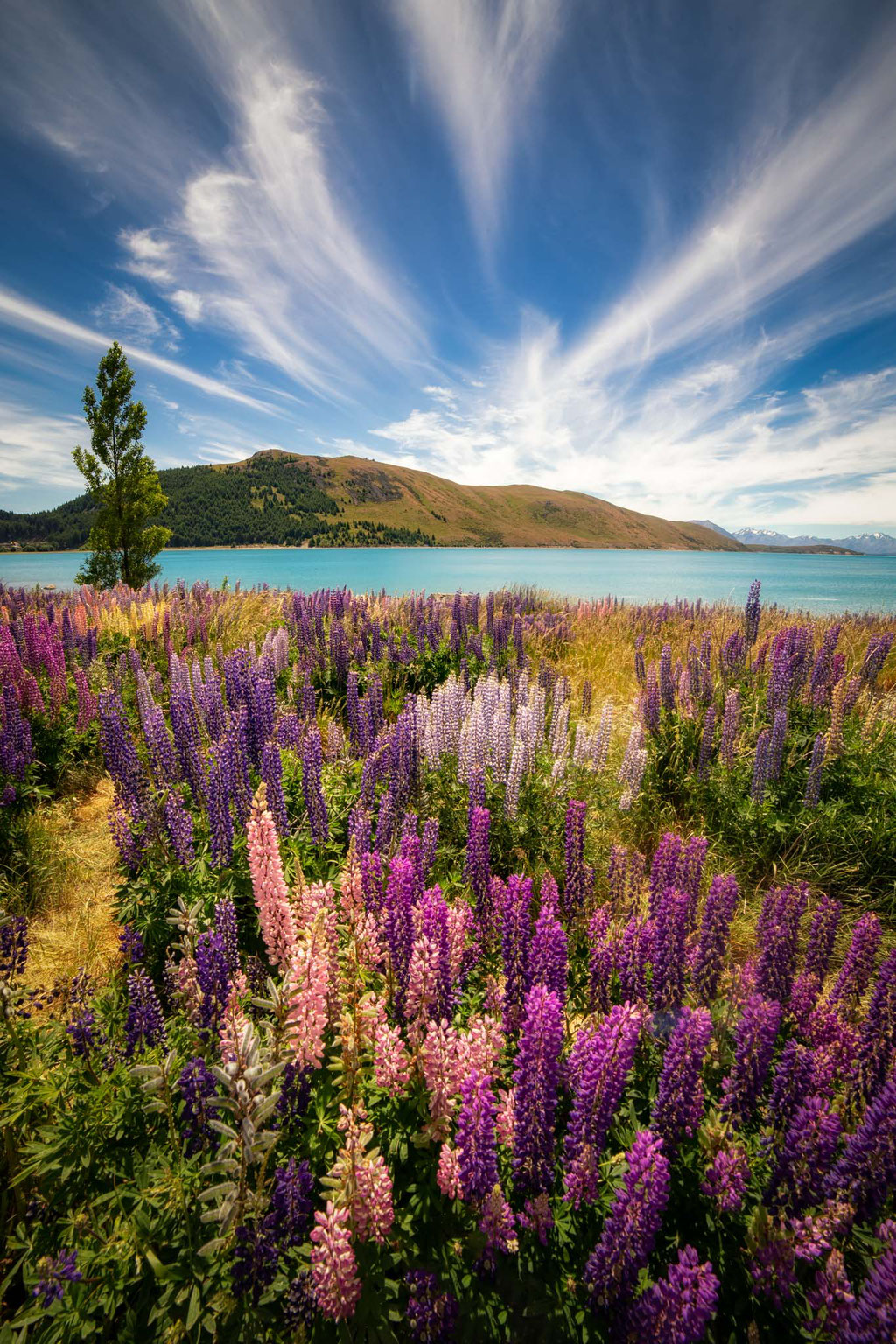Lupin flowers on the shoreline of Lake Tekapo