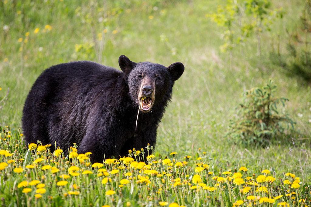 Black bear spotted on the roadside near Whistler