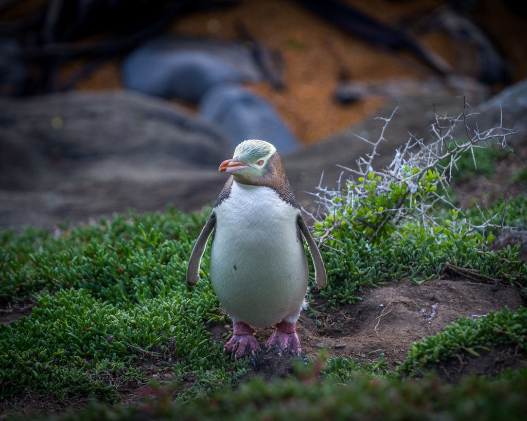 New Zealand's Yellow Eyed Penguin
