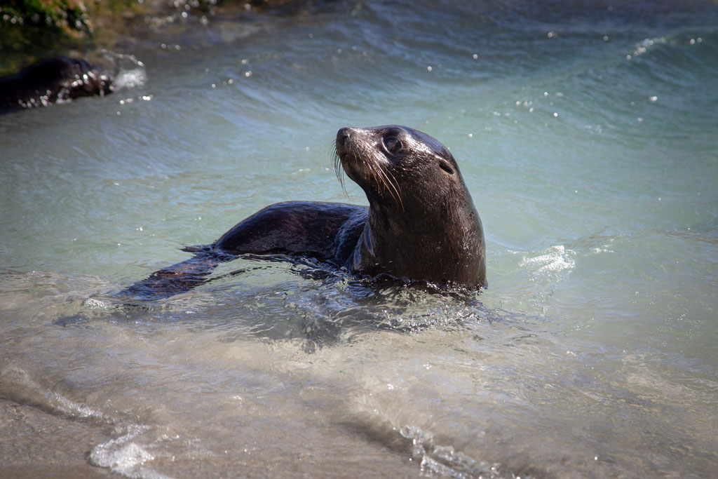 A little seal pup playing in the tidal pool at the Wharariki Beach