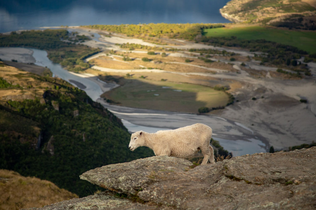 A sheep on the summit of Rocky mountain