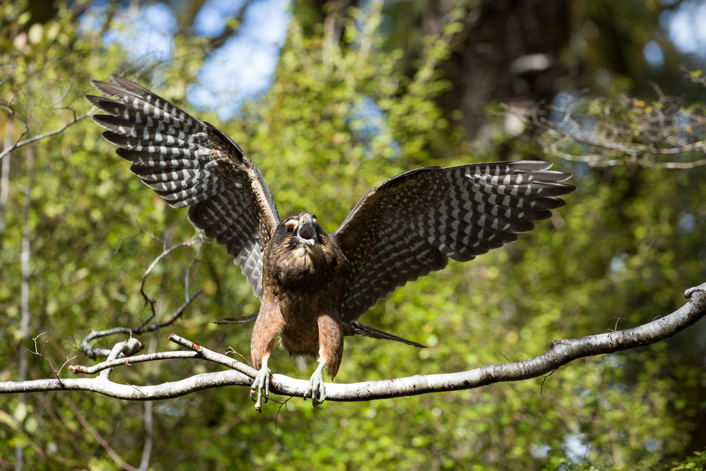 Falcon spotted along the Milford Track