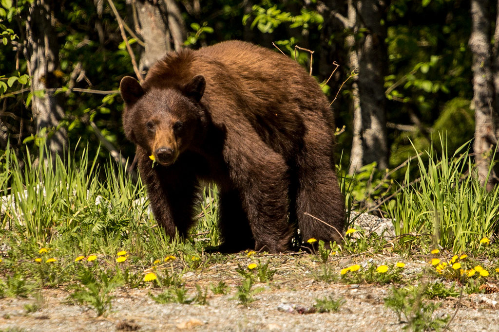 A brown black bear