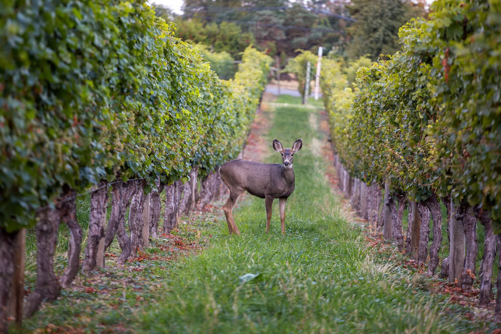 A deer spotted in the winery
