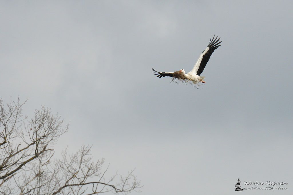 Preparativi per il nido (Cicogna bianca, Piccola Camargue Alsaziana, Marzo 2016)