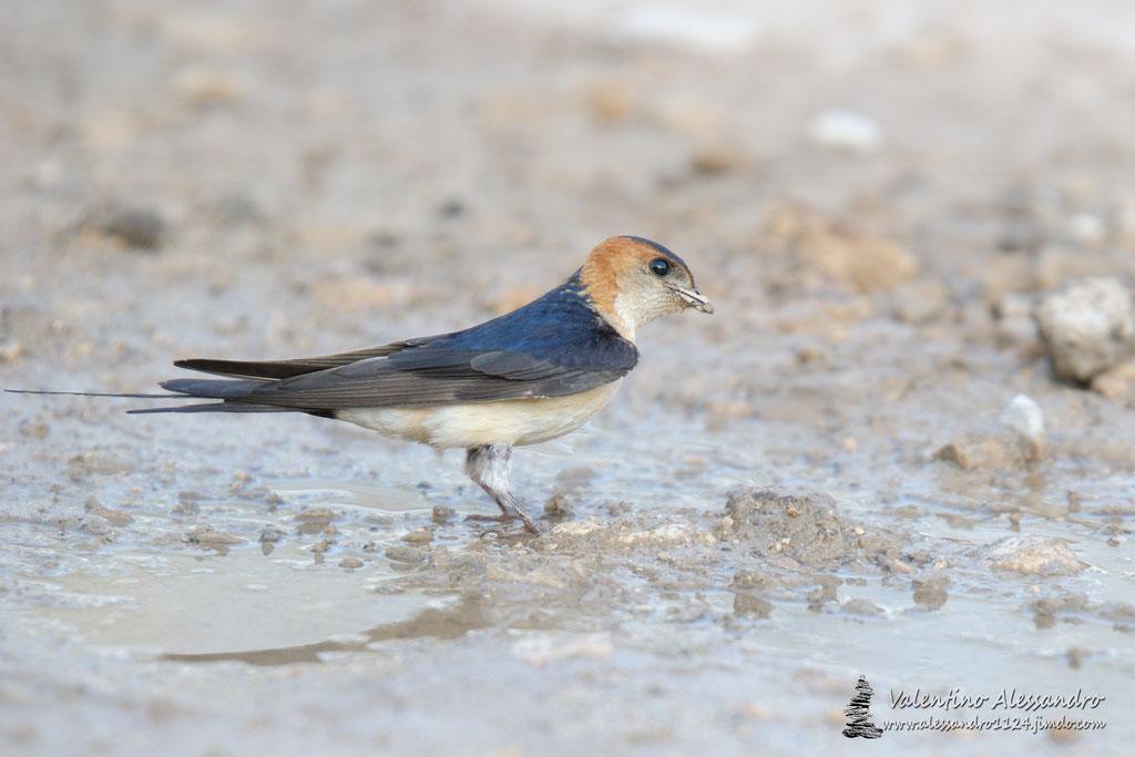In cerca di acqua (Rondine rossiccia, Rovigno Luglio 2016)